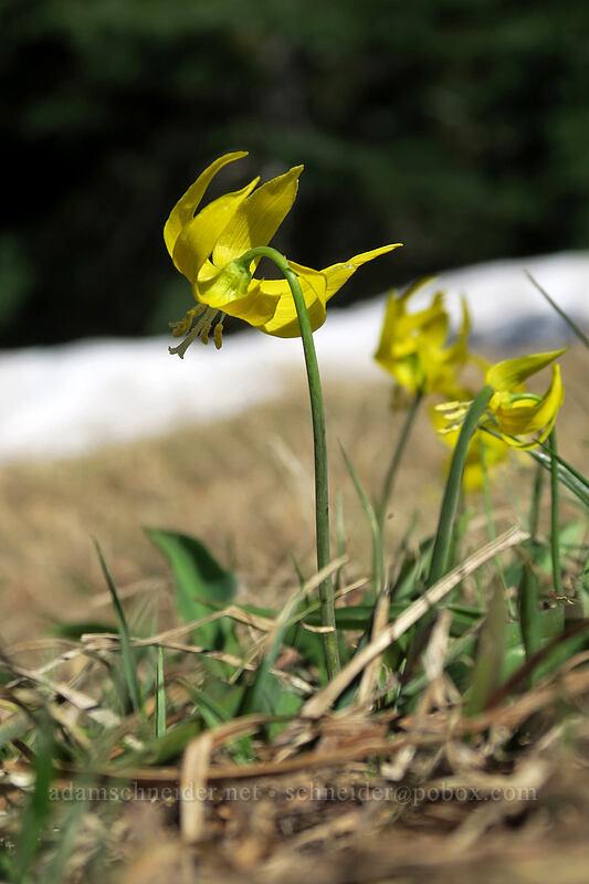 glacier lilies (Erythronium grandiflorum) [Mary's Peak summit, Siuslaw National Forest, Oregon]