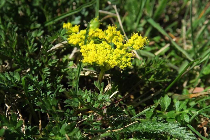Martindale's desert parsley (Lomatium martindalei) [Mary's Peak summit, Siuslaw National Forest, Oregon]