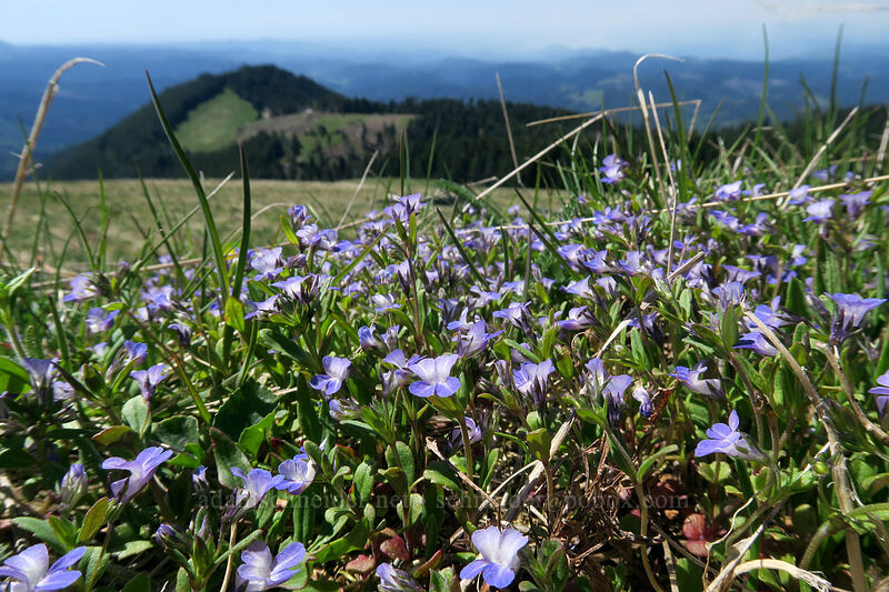 small-flowered blue-eyed-Mary (Collinsia parviflora) [Mary's Peak summit, Siuslaw National Forest, Oregon]