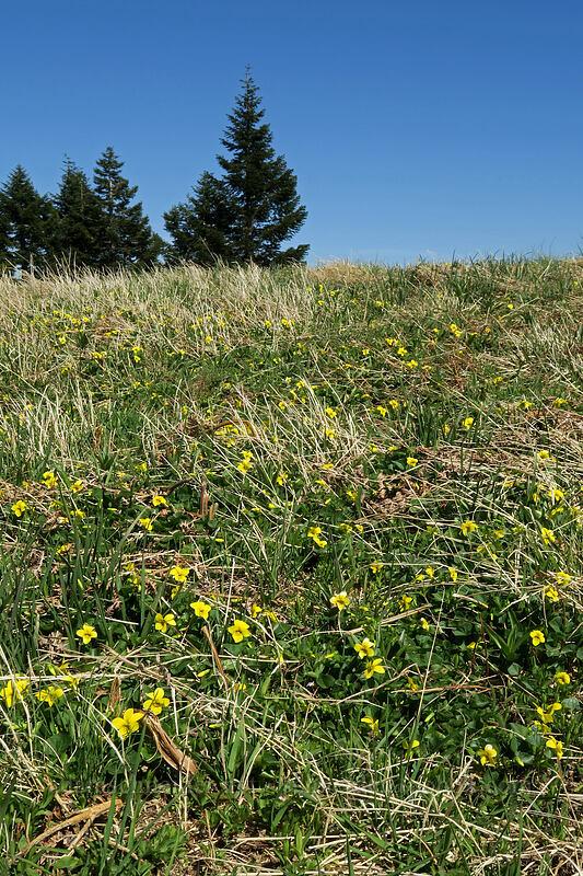 pioneer violets (Viola glabella) [Mary's Peak, Siuslaw National Forest, Oregon]