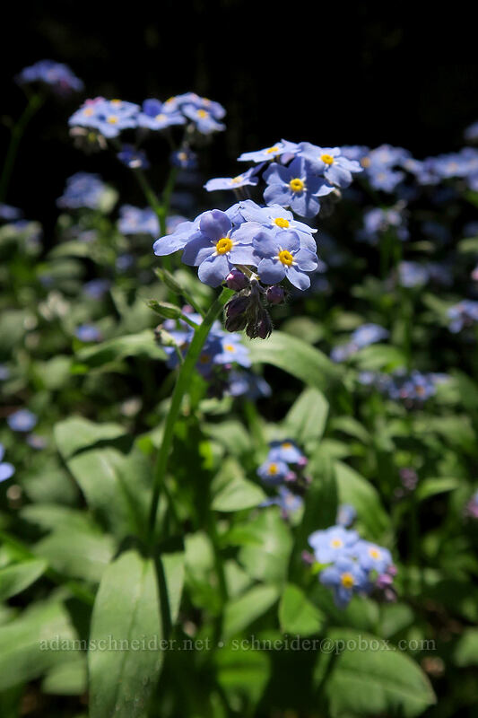 forget-me-nots (Myosotis scorpioides) [Mary's Peak Road, Siuslaw National Forest, Oregon]