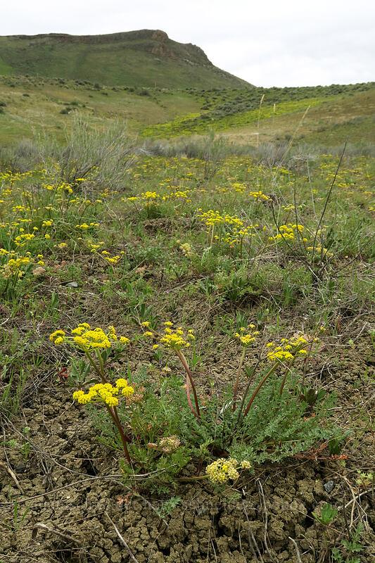 desert parsley (Lomatium sp.) [U.S. Highway 26, Baker County, Oregon]