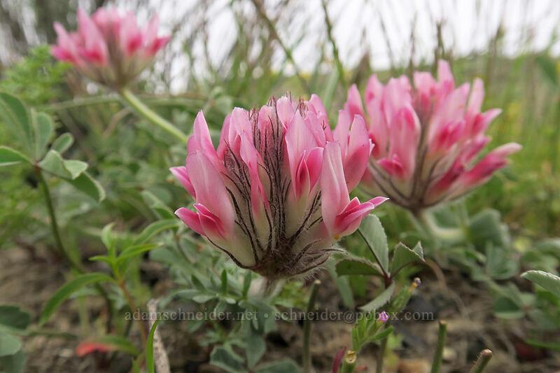 big-head clover (Trifolium macrocephalum) [U.S. Highway 26, Baker County, Oregon]