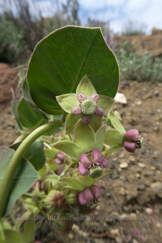 pallid milkweed (Asclepias cryptoceras) [Flood of Fire Trail, John Day Fossil Beds National Monument, Oregon]
