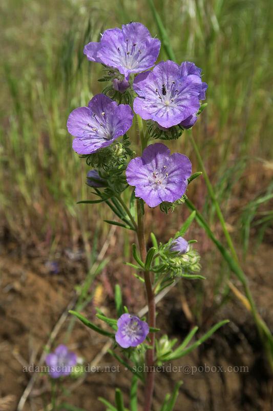 thread-leaf phacelia (Phacelia linearis) [Blue Basin Trail, John Day Fossil Beds National Monument, Oregon]