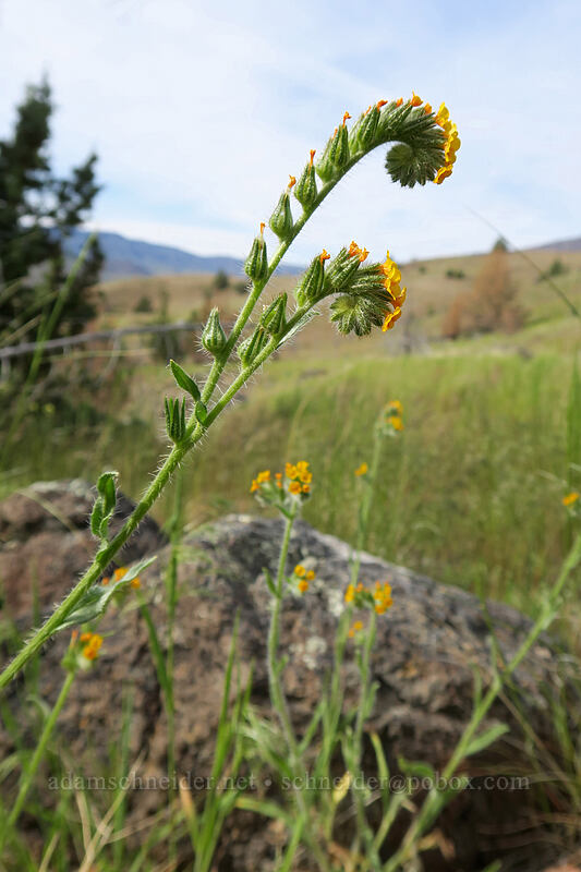 fiddleneck (Amsinckia menziesii) [Blue Basin Trail, John Day Fossil Beds National Monument, Oregon]