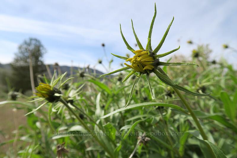 Cusick's sunflower, budding (Helianthus cusickii) [Blue Basin Trail, John Day Fossil Beds National Monument, Oregon]