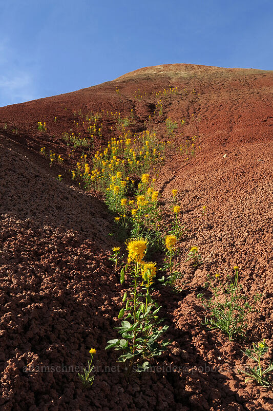 golden bee plant & red clay (Cleome platycarpa (Peritoma platycarpa)) [Sutton Mountain WSA, Wheeler County, Oregon]