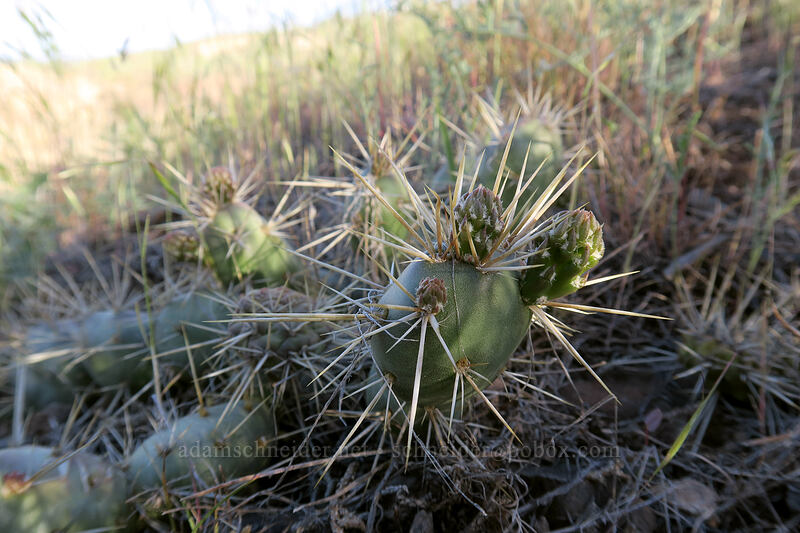 brittle prickly-pear cactus (Opuntia fragilis) [Painted Hills Overlook Trail, John Day Fossil Beds National Monument, Oregon]