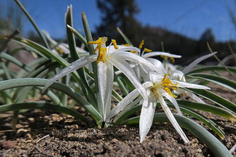 sand lilies (Leucocrinum montanum) [Penny Lane, Deschutes County, Oregon]