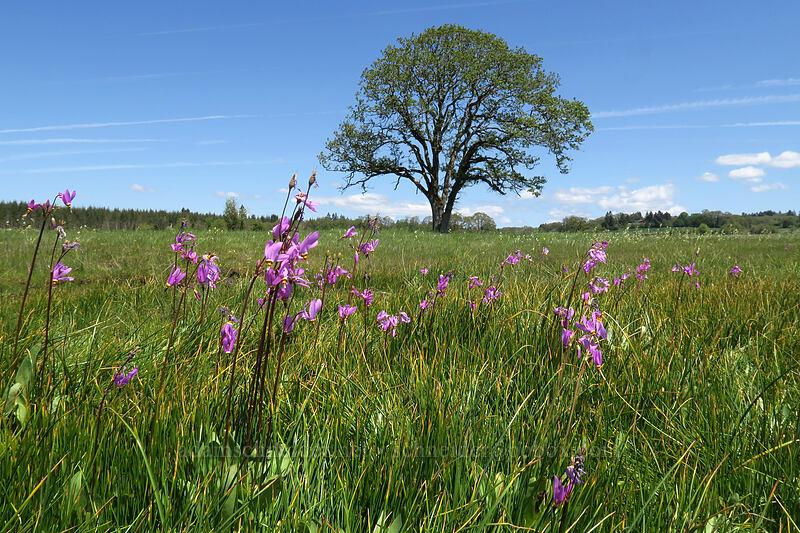 Alaskan shooting stars (Dodecatheon pulchellum ssp. macrocarpum) [Kingston Prairie Preserve, Linn County, Oregon]