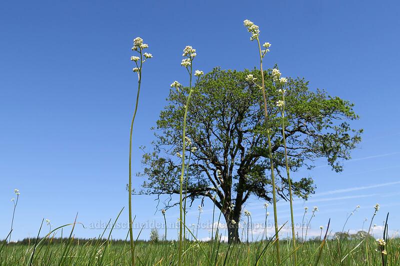 Oregon saxifrage (Micranthes oregana (Saxifraga oregana)) [Kingston Prairie Preserve, Linn County, Oregon]