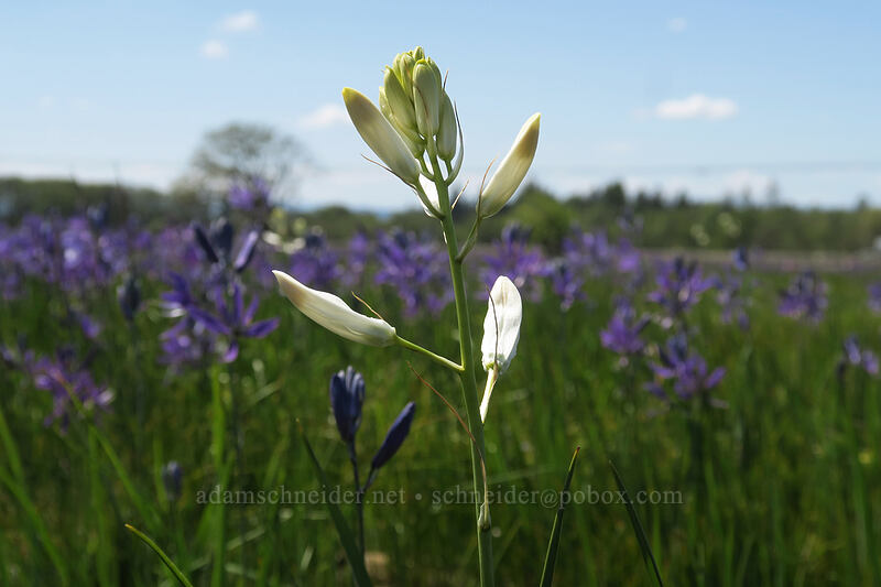 white camas (Camassia quamash) [Kingston Prairie Preserve, Linn County, Oregon]