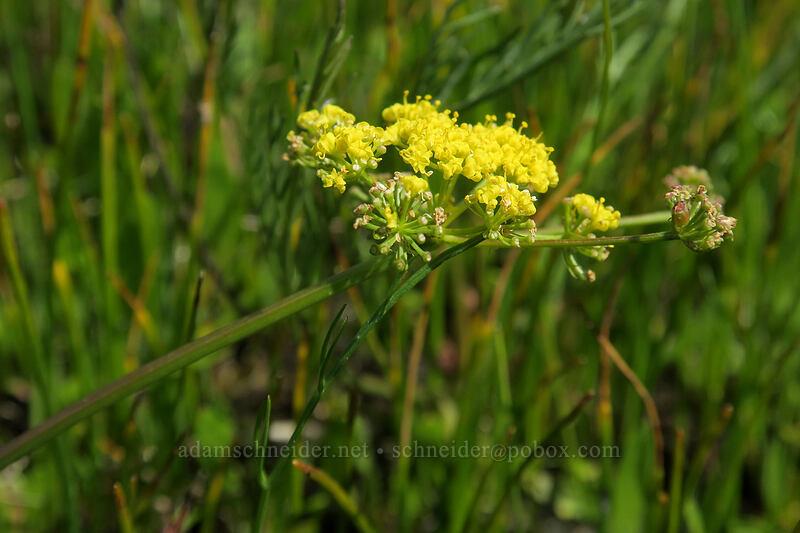 Bradshaw's desert parsley (Lomatium bradshawii) [Kingston Prairie Preserve, Linn County, Oregon]