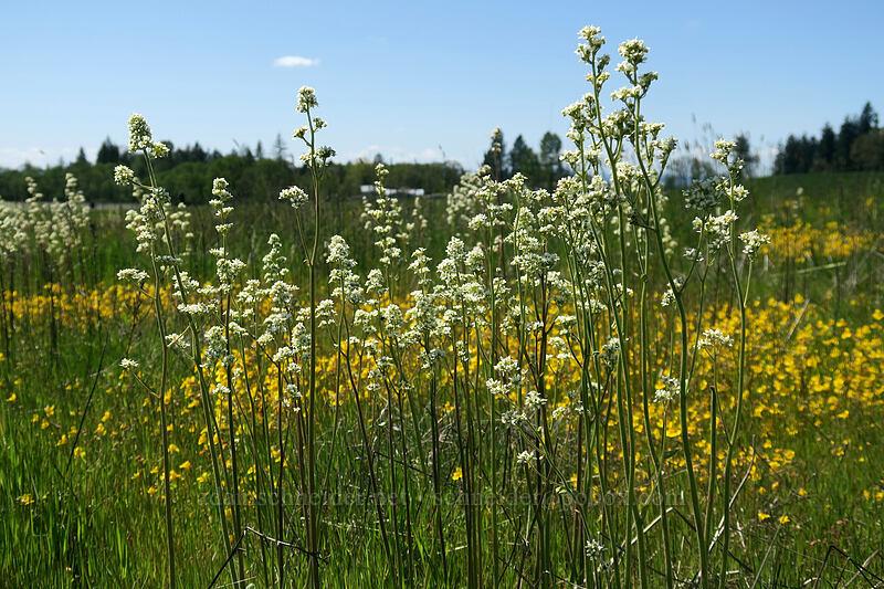 Oregon saxifrage & yellow monkeyflower (Micranthes oregana (Saxifraga oregana), Erythranthe guttata (Mimulus guttatus)) [Kingston Prairie Preserve, Linn County, Oregon]
