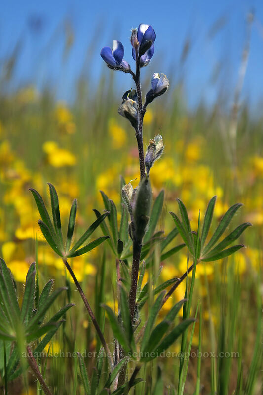 small-flowered lupine & monkeyflower (Lupinus micranthus (Lupinus polycarpus),Erythranthe guttata (Mimulus guttatus)) [Kingston Prairie Preserve, Linn County, Oregon]