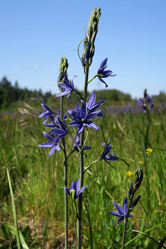 great camas (Camassia leichtlinii) [Kingston-Lyons Drive, Linn County, Oregon]
