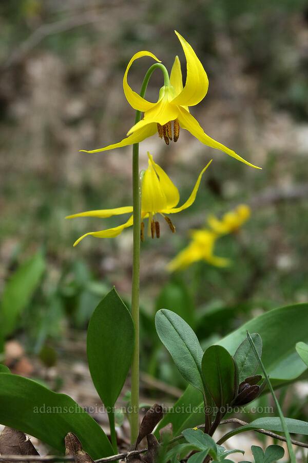glacier lilies (Erythronium grandiflorum) [Rock Canyon Trail, Provo, Utah]