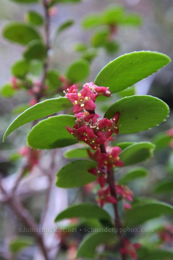 Oregon box-leaf (Paxistima myrsinites) [Rock Canyon Trail, Provo, Utah]