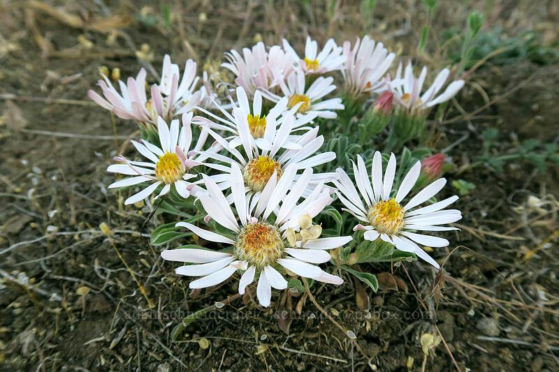 showy townsendia (Townsendia florifer) [Canyon Trail, Smith Rock State Park, Oregon]