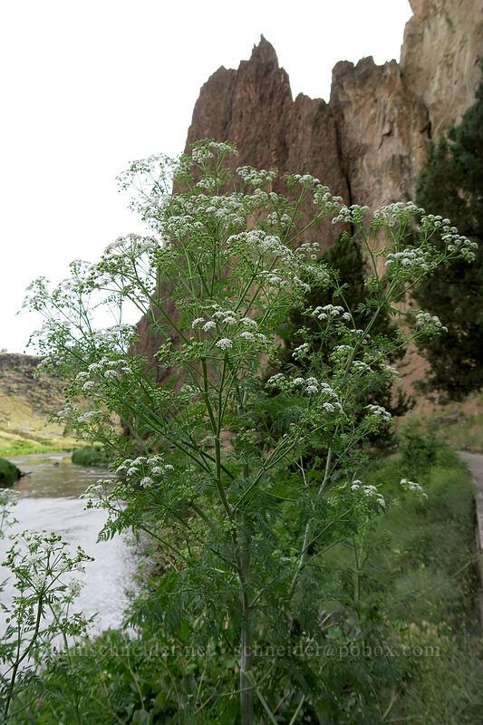 poison hemlock (Conium maculatum) [River Trail, Smith Rock State Park, Oregon]