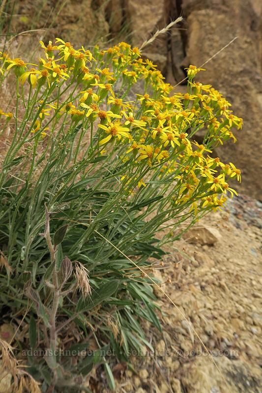 woolly groundsel (Packera cana (Senecio canus)) [Asterisk Pass, Smith Rock State Park, Oregon]