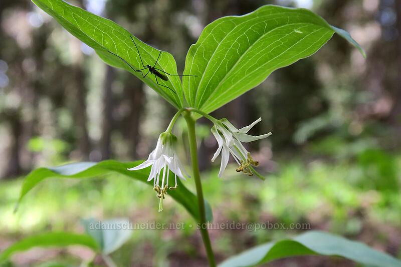 rough-fruit fairy bells (Prosartes trachycarpa (Disporum trachycarpum)) [Independent Mine Trail, Ochoco National Forest, Oregon]