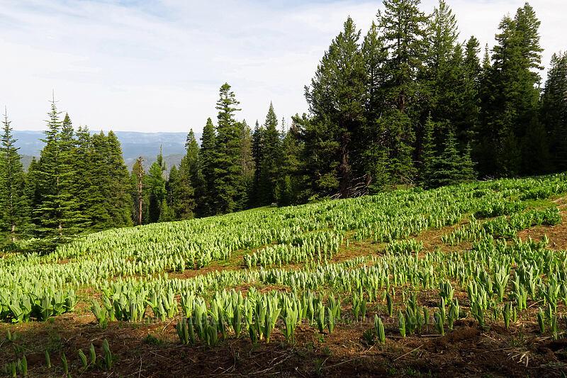 California corn lilies (Veratrum californicum) [Independent Mine Trail, Ochoco National Forest, Oregon]