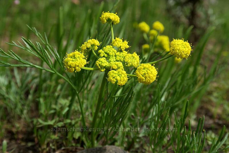 slender-fruit desert parsley (Lomatium leptocarpum (Lomatium bicolor var. leptocarpum)) [Independent Mine Trail, Ochoco National Forest, Oregon]