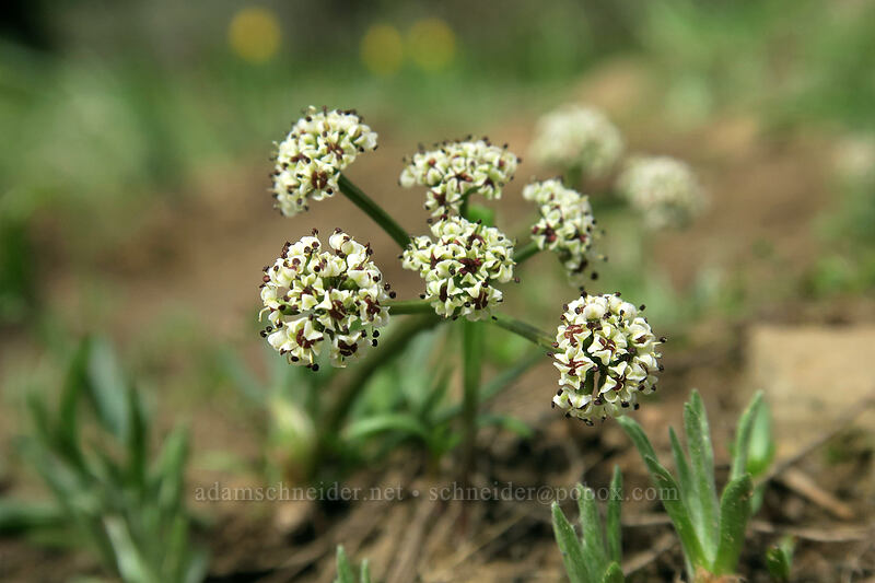 Piper's desert parsley (Lomatium piperi) [Independent Mine Trail, Ochoco National Forest, Oregon]