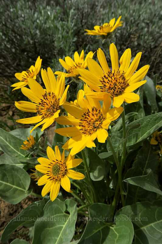 arrow-leaf balsamroot (Balsamorhiza sagittata) [Independent Mine Trail, Ochoco National Forest, Oregon]