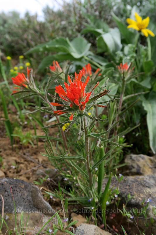 wavy-leaf paintbrush (Castilleja applegatei ssp. pinetorum) [Independent Mine Trail, Ochoco National Forest, Oregon]