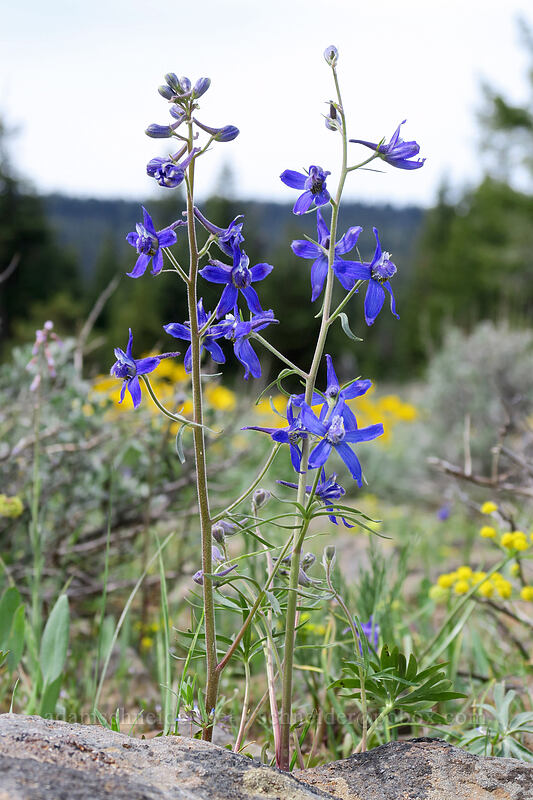 larkspur (Delphinium nuttallianum) [Independent Mine Trail, Ochoco National Forest, Oregon]
