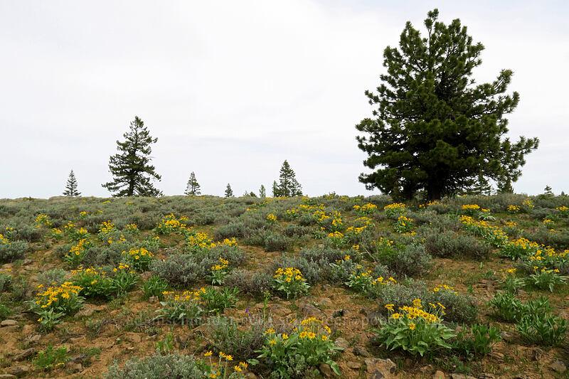 balsamroot & sagebrush (Balsamorhiza sagittata, Artemisia sp.) [Independent Mine Trail, Ochoco National Forest, Oregon]