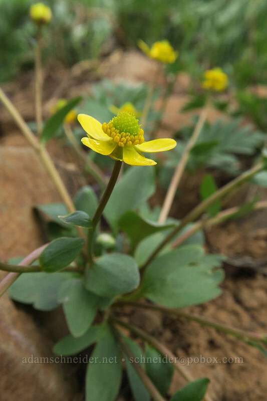 sagebrush buttercup (Ranunculus glaberrimus) [Independent Mine Trail, Ochoco National Forest, Oregon]