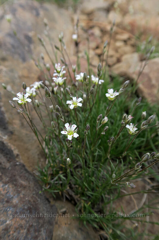 King's sandwort (Eremegone kingii var. glabrescens (Arenaria kingii var. glabrescens)) [Line Butte Tie Trail, Ochoco National Forest, Oregon]