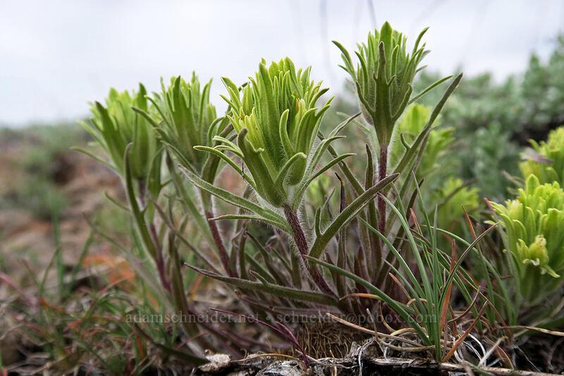 pale paintbrush (Castilleja oresbia) [Line Butte Tie Trail, Ochoco National Forest, Oregon]