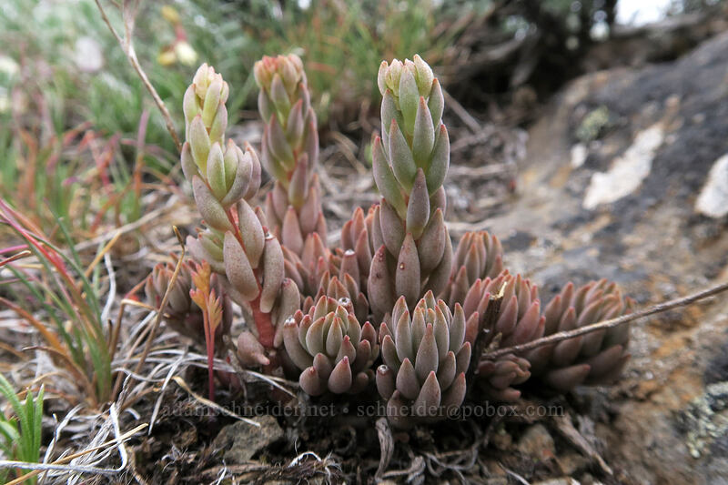 lance-leaf stonecrop leaves (Sedum lanceolatum) [Line Butte Tie Trail, Ochoco National Forest, Oregon]