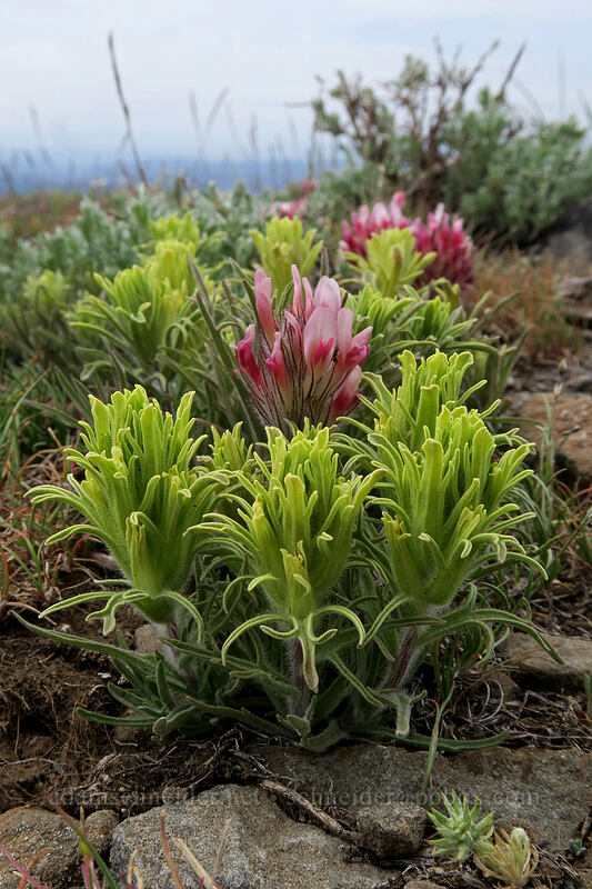 pale paintbrush & big-head clover (Castilleja oresbia, Trifolium macrocephalum) [Lookout Mountain summit, Ochoco National Forest, Oregon]