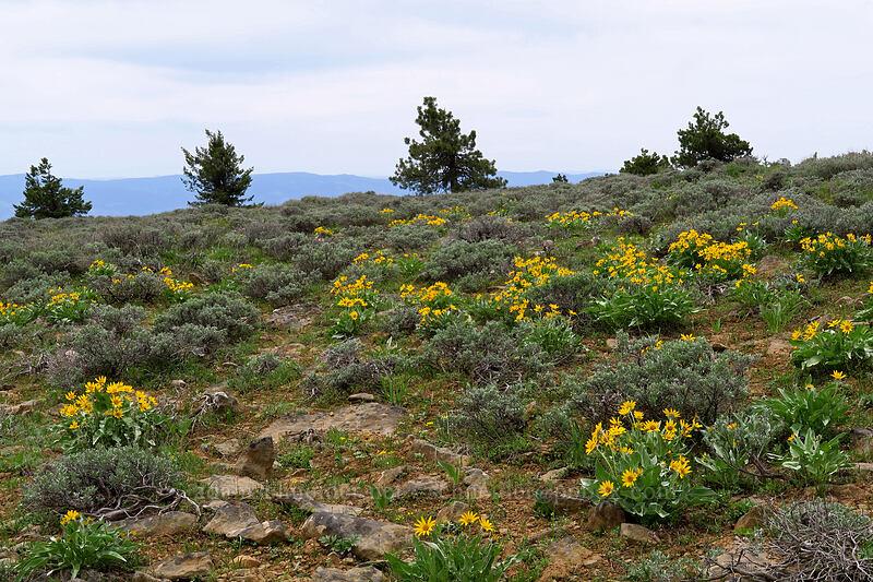 balsamroot & sagebrush (Balsamorhiza sagittata, Artemisia sp.) [Lookout Mountain summit, Ochoco National Forest, Oregon]