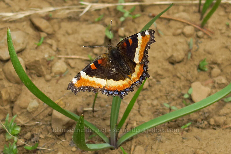 Milbert's tortoiseshell butterfly (Aglais milberti (Nymphalis milberti)) [Mother Lode Mine Trail, Ochoco National Forest, Oregon]