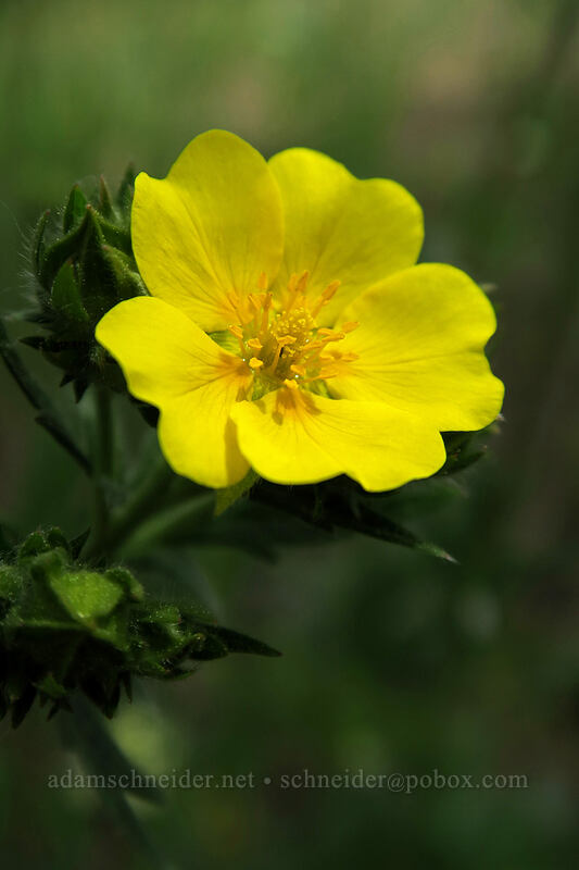 fan-leaf cinquefoil (Potentilla gracilis) [Forest Road 42, Big Summit Prairie, Oregon]