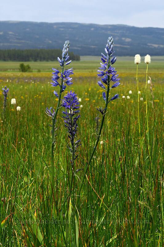 camas, bistort, etc. (Camassia quamash, Polygonum bistortoides (Bistorta bistortoides)) [Forest Road 42, Big Summit Prairie, Oregon]