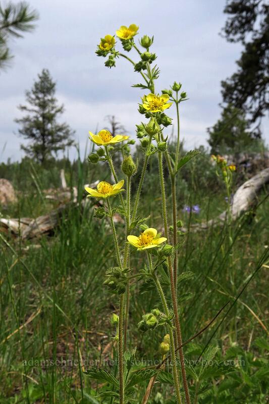 cinquefoil (Drymocallis sp.) [Forest Road 42, Big Summit Prairie, Oregon]