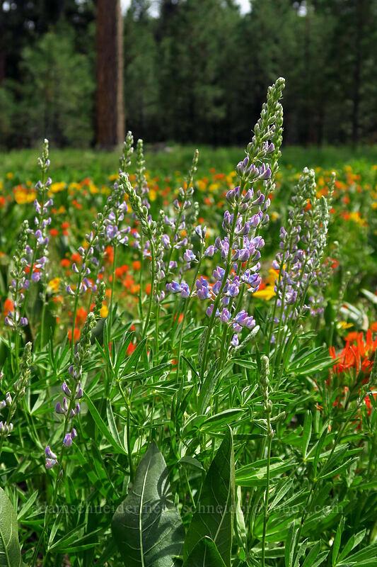 lupines (Lupinus sp.) [Forest Road 42, Big Summit Prairie, Oregon]