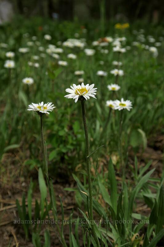 Eaton's daisy (Erigeron eatonii) [Forest Road 42, Big Summit Prairie, Oregon]