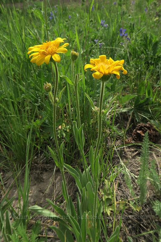 twin arnica (foothills arnica) (Arnica sororia) [Lookout Creek, Ochoco National Forest, Oregon]
