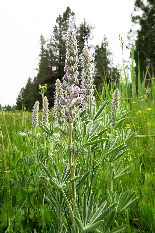 velvet lupine (Lupinus leucophyllus) [Lookout Pasture, Ochoco National Forest, Oregon]