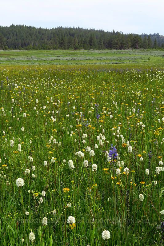 bistort, camas, groundsel, etc. (Bistorta bistortoides (Polygonum bistortoides), Camassia quamash, Senecio hydrophilus) [Lookout Pasture, Ochoco National Forest, Oregon]