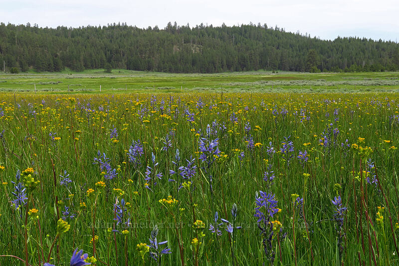 camas, marsh butterweed, etc. (Camassia quamash, Senecio hydrophilus) [Lookout Pasture, Ochoco National Forest, Oregon]